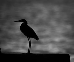 (mak_9000) Tags: blackandwhite heron beach sea bird twitcher bw nature wildlife dusk fishing jamaica silhouette water night sunset lonely