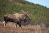 Bull Moose (Outback Photo Adventures) Tags: moose bullmoose alaska ak rut sun bull animal nature 5dsr 5d 5ds wildlife 1dxmarkii 200mm f2 f20 canon usa america