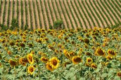 Vigna e girasoli (luporosso) Tags: natura nature naturaleza naturalmente nikon vigna vineyard girasoli sunflower summer scorcio scorci campagna campi country countryside marche italy italia