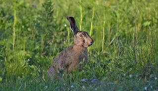 European hare in the grass...