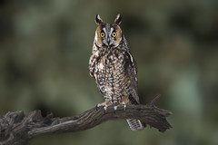 Long-Eared Owl (Asio otus) (Vegas Nelson) Tags: nikond810 bird owl longearedowlasiootus arizona ornithology nature avian flight flying fly winged wildlife feather beak bokeh
