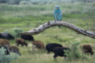 European roller and cows