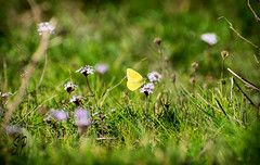 The beauty of the little things (eSePoste) Tags: belleza pequeño mariposa amarillo violeta naturaleza primavera verde macro flor beauty little butterfly yellow violet nature spring green flower