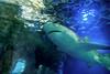 001064-P2188189 (aussiephil1960) Tags: em12 em1markii sydneyaquarium olympuszd1260mmf2840 shark