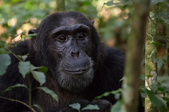 I am chilled about all the attention (Ring a Ding Ding) Tags: africa kibalenationalpark ndali uganda ape chimpanzee nature onmnivore kibale westernregion pan ngc