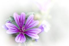 Macro Monday (TM Photography Vision) Tags: macromonday macromondays highkey high key flower flor blume blüte