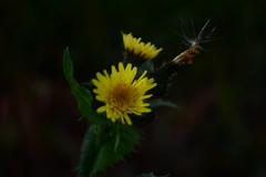 Golden Glow (Janice Perrin) Tags: dandelions