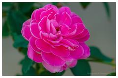 rose (@Katerina Log) Tags: rose bokeh depthoffield blossom florafauna flower spider pink outdoor nature natura foliage garden katerinalog macro colour closeup sonyilce6000 105mmf28 plant