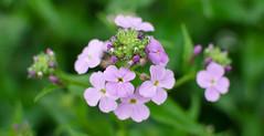 Phlox (kayleeacres) Tags: phlox flower native plant plants symmetry color pink green garden rain raindrop spring pattern flora