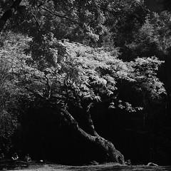 Tree IR (S a b i r) Tags: sabir bangalore cubbonpark infrared rollei superpan superpan200 ei6 kodak hc110 dilh hasselblad 80mm 80f28 epsonv700