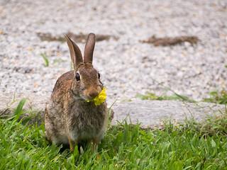 Hungy Bunny