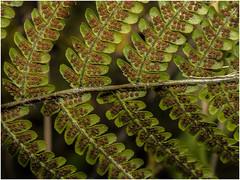 Ferns, Haigh, Wigan (Pitheadgear) Tags: nature wigan haigh haighcountrypark haighplantations haighhall plants fern ferns pteris spores leaves macro