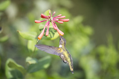 Perfection~ (Connie Etter Photography) Tags: 2017 migration hummingbird bird honeysuckle flower flight eat indiana canon 1dx