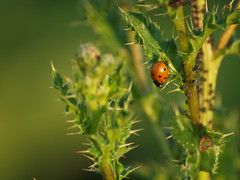 Siebenpunkt-Marienkäfer (reuas ogni) Tags: siebenpunkt marienkäfer käfer insekt olympus zuiko isoz ladybug insect beetle makro macro