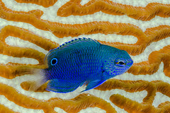 Nagasaki Damsel, young juvenile - Pomacentrus nagasakiensis (zsispeo) Tags: pomacentridae pomacentrus teleostei burroughi scuba diving tropical reef fish underwater macro macrophotography sea ocean holidays vacation summer beach relaxation d800e coral fauna wildlife wild geotagged science taxonomy travel sustainable life aquatic beautiful nature animal biology id identification souvenir living favorite natural padi rare saltwater turquoise blue conservancy quality escapade tourism wet outdoors damselfish bohol philippines