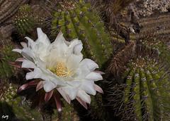 La flor de mis recuerdos...  (Jardins Mossèn Costa i Llobera) (svet.llum) Tags: flor flores barcelona catalunya cataluña cactus jardín montjuic montjuïc planta naturaleza