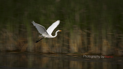 Panning for gold.... (Photography by Ramin) Tags: egret panning shot ottawa wildbirds wild art morning light golden hour beautyoffeather beauty flight bif canada river