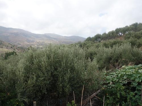 La région est truffée de plantations d'oliviers