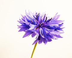 Cornflower. (Les Fisher) Tags: sliderssunday cornflower highkey