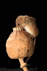 Harvest Mice 7