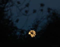 always a moon (5) (birdcloud1) Tags: moon luna lunar moonset dawn trees silhouettes alwaysamoon focus blue gold canoneos80d eos80d canon70300mmlens 70300mm amandakeoghphotography amandakeogh birdcloud1