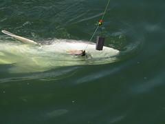 Well Played Sturgy (Sun T'zu) Tags: sturgeon bc fishing canada dinosaur river fraserriver catchandrelease sportfishing