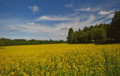 A piece of Finnish countryside. Rapeseed field. 🌾 (L.Lahtinen (nature photography)) Tags: finland summer nature countryside naturephotography nikond3200 rapeseed flowers yellow vibrantcolors blue clouds plants suomi maisema maalaismaisema rurallandscape country luonto taivas scenery larissadatsha europe