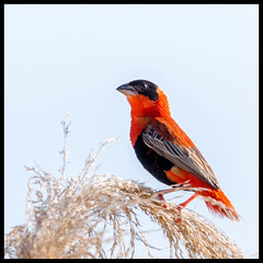 Orange Bishop (Ed Sivon) Tags: american america canon nature lasvegas wildlife wild western southwest sun desert clarkcounty clark color vegas bird henderson nevada nevadadesert preserve