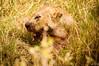 Bloody-mouthed lionness, Serengeti National Park, Tanzania / Lionne à la gueule ensanglantée, Parc National du Serengeti, Tanzanie (jaybles_69) Tags: afrique serengeti tanzanie serengetinationalpark tanzania africa wildlife animal mammal mammifère nikonnaturephotography naturemasterclass fantasticwildlife tamron nikon félin feline
