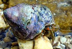 I see you (motonya) Tags: paguro mare conchiglia crostaceo occhi sguardo hermit crab sea water shell seashell crustacean eyes look