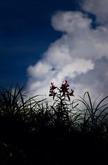 盛夏礼賛 (あおい.) Tags: japan nature summer flower lily sky cloud 日本 自然 夏 空 雲 百合 花