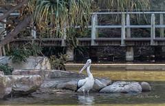 A brief stopover (idunbarreid) Tags: pelican