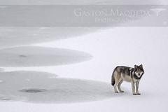 Lobo Gris - Grey Wolf - Banff NP - Canada (Gaston Maqueda) Tags: lobo wolf wolves animales mammals mamiferos alberta mountains montañas invierno salvaje wild wildlife fauna nature naturaleza banff canada ngc