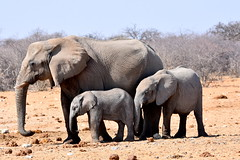 Trio. (pstone646) Tags: elephants nature wildlife three animals pachiderms mammals africa namibia etosha fauna