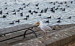 2017 Sydney: A Very Windy Spring Afternoon in Centennial Park #44 (dominotic) Tags: sydney nsw australia newsouthwales 2017 centennialpark publicpark orange duckpond seagull bird silvergull ducks white blue seagulldinner seagullwithbread nature springsunset