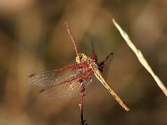 Dragonfly (quarzonero ...Aldo A...) Tags: dragonfly future eggs insect insetto nature natura macro closeup coth sunrays5 coth5 acari