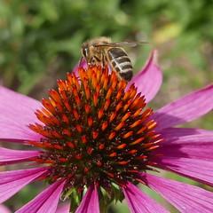 Hot & Sharp (louise peters) Tags: bee bij tubebij zonnehoed rodezonnehoed echinaceapurpurea rudbeckia flower bloem insect purper roze pink red rood macro makro garden tuin