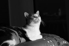Tabby (pepe amestoy) Tags: blackandwhite indoor cats portrait elcampello spain fujifilm xe1 carl zeiss planar 250 t zm planart250 m mount