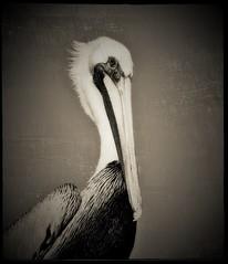 Regal Pelican (Leve Lumen) Tags: pelican pelicanus brownpelican portrait bird seabird avian wildlife florida westkey thekeys usa blackandwhite bw closeup 7dwf 7dwfthursday sliderssunday happysliderssunday postprocessing