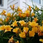 Stella d'Oro Daylilies thumbnail
