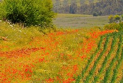 Magical Places - Tunisia  (3) (The Spirit of the World) Tags: tunisia africa northafrica fields spring painting impressionist crops wildflowers landscape trees bushes hills rollinghills farmland fertile