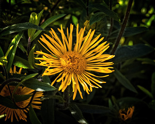 Garden Star