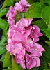 (Iggy Y) Tags: hydrangeamacrophylla hydrangea macrophylla summer blossom flower pink color flowers nature park garden plant velelisnahortenzija hortenzija bigleafhydrangea hortensia sunny day light