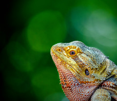 """If I don't find something (knoxnc) Tags: pittsburghzoo summer beardeddragon closeup outside nikon d5100 specanimal alittlebeauty fantasticnature coth5"