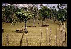 Development For Ranch In Efate Island = エファテ島での大規模な牧場開発