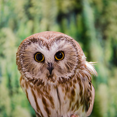 Alaskan Owl (t conway) Tags: