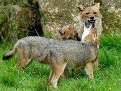 Goldschakal***Gold-Wolf***Canis aureus (BrigitteE1) Tags: goldschakal jackal goldwolf canisaureus naturzoorheine deutschland germany zoo geotagged momandkids specanimal