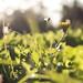 Juego #1 - Al amanecer (monicapp_28) Tags: flor amanecer abeja contraluz