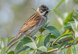 DSC7489  Reed Bunting..