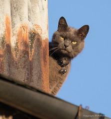 Bellringer on the roof (pxl350) Tags: katze blue blau rost sky rust staring bells cat himmel